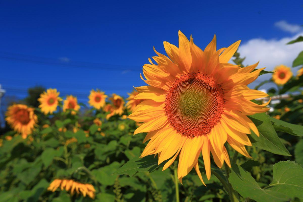 ひまわり ~Sunflower~
