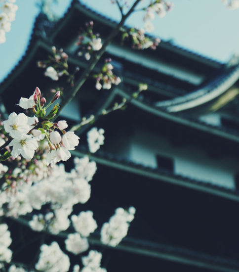 桜 松江城 SAKURA – Matsue Castle