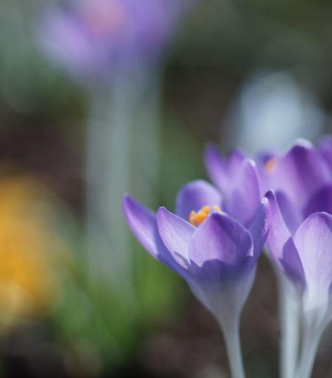 春を告げる花~Crocus~
